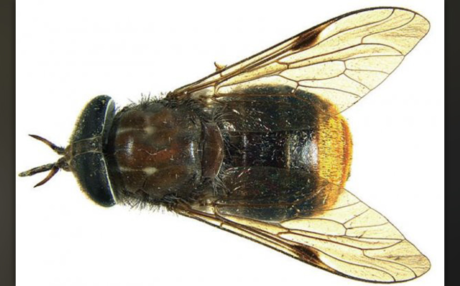 Fliege mit großem Hinterteil: Scaptia beyonceae (Beyoncé)