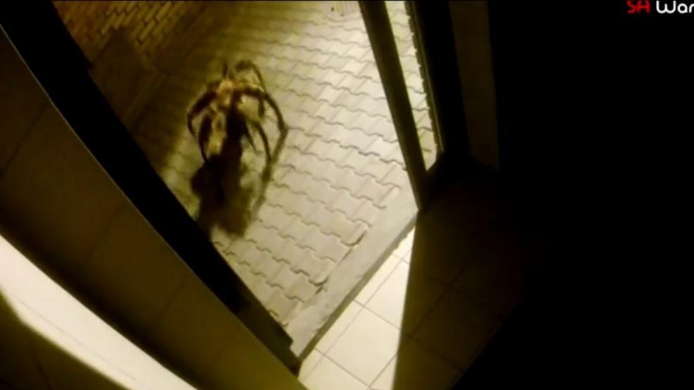 Dog Spider auf YouTube